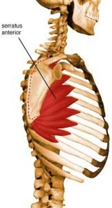 serratus-anterior