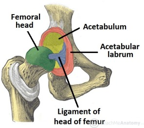 Bony-Surfaces-of-the-Hip-Joint-Head-of-Femur-and-Acetabulum.